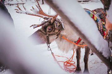 Rentier Finnisch-Lappland von Suzanne De Boer - Mateijsen