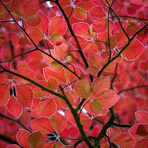 rode bladeren in het voorjaar