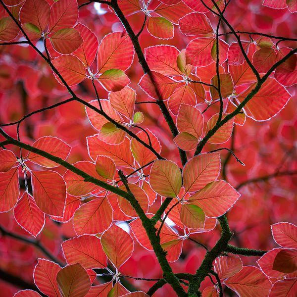 rode bladeren in het voorjaar van Henno Drop