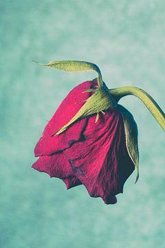 Verwelkende roos von Lavieren Photography