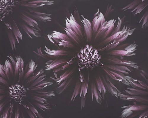 Purple Dahlias van