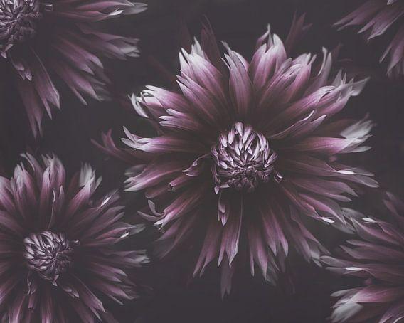Purple Dahlias van Marina de Wit