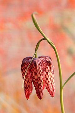 Schachbrettblume von Augenblicke im Bild
