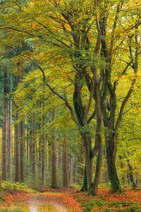 Dansende beukenbomen in de herfst, Veluwe, Nederland van Sjaak den Breeje