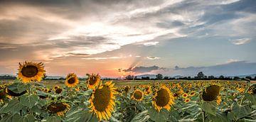 Sunflowersunset von Reint van Wijk