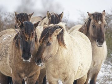 Konik-Pferde von Dirk van Egmond