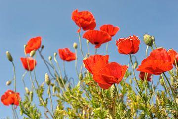 die Poppy von Rene du Chatenier