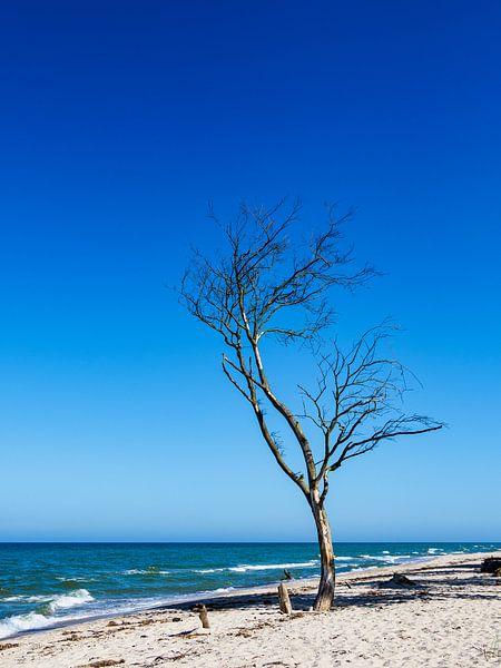A single tree with blue sky on the Baltic Sea coast van Rico Ködder