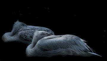 Pelikane von Hennie Zeij