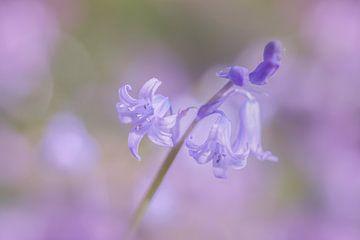 Boshyacint in de bloei sur Karla Leeftink