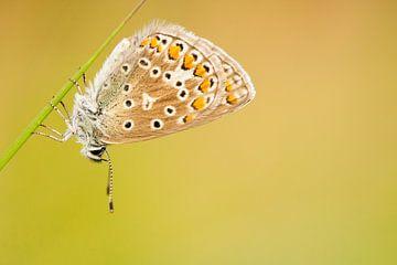 Vlinder rust op grasspriet sur Caroline Piek