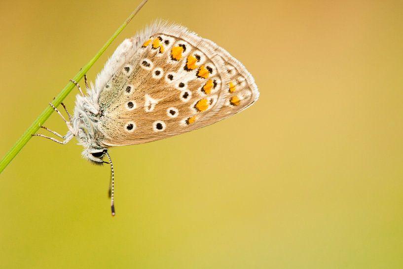 Vlinder rust op grasspriet van Caroline Piek