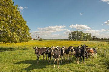 Koeien Holstein Friesian en molen van Moetwil en van Dijk - Fotografie