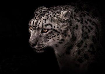 Porträt eines Schneeleoparden mit deutlichem Blick auf schwarzem Hintergrund, aschgraue Großkatze von Michael Semenov