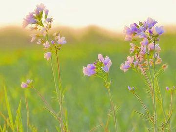 Pinksterland (Pinksterbloemen) van Caroline Lichthart
