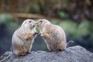 Prairiehondjes geven elkaar kusje van