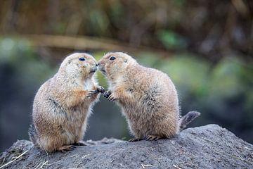 Prairiehondjes geven elkaar kusje van Monique Hassink