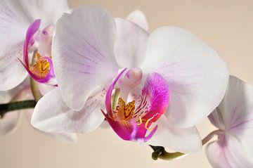 Orchideenblüte von Philipp Klassen