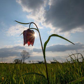 Kievitsbloem in het zonlicht, het voorjaar begint zodra deze bloem zich laat zien von Michel Knikker