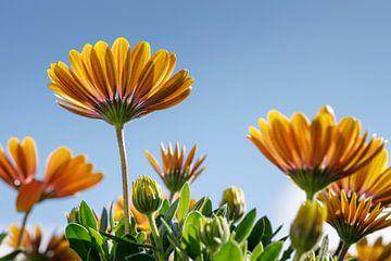 Geel/Oranje Margriet met blauwe lucht I van Mister Moret Photography