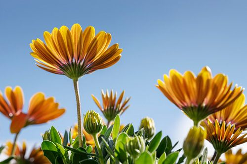 Geel/Oranje Margriet met blauwe lucht I