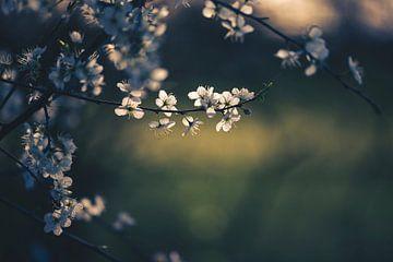 Blüten im Abendlicht von Kristof Ven