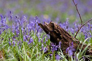 Wilde Hyacinten