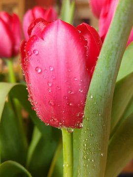 rode tulp van Andrea Meister