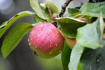 rode rijpe appel met druppels water op de boom, oogsttijd in de herfst, geselecteerde focus van Maren Winter