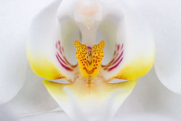 Weiße Orchidee von Bas Alstadt Fotografie