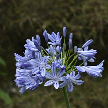 Hellblaue afrikanische Lilie von Elke Dag Een Foto