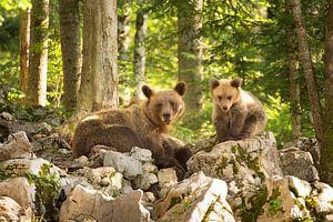 Twee wilde bruine beren in de wildernis van Slovenië