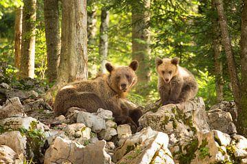 Twee wilde bruine beren in de wildernis van Slovenië van