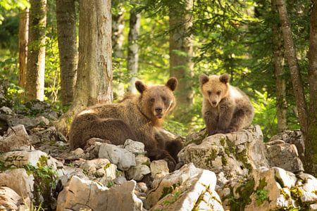 Twee bruine beren in de wildernis van Slovenië