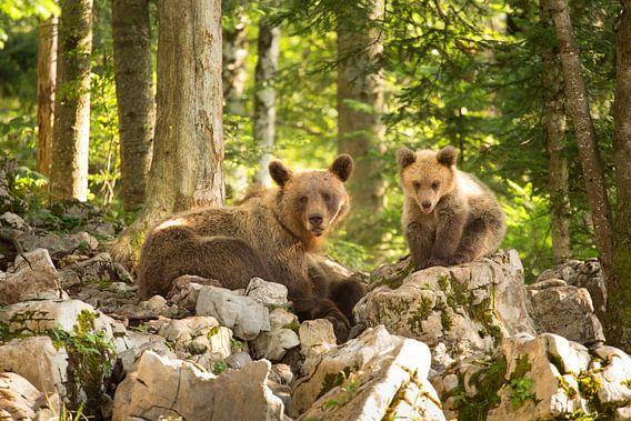 Twee bruine beren in de wildernis van Slovenië van Menno Boermans