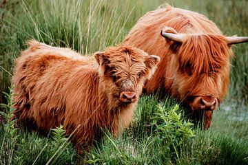 Kalf van de Schotse hooglander van Iris Lobregt