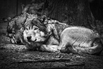 Wolf von Rob Boon