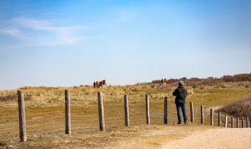 Grazende bruine koeien in de Manteling van Percy's fotografie