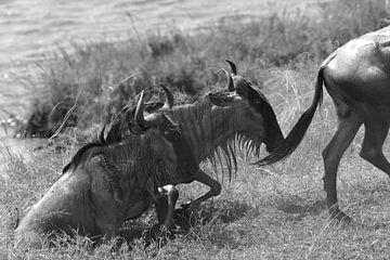 Op safari in Afrika: Wildebeesten steken de Mara Rivier tussen Kenia en Tanzania over van Koolspix