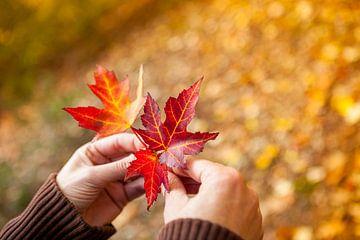 Frauenhände halten einige Herbstblätter von Marcel Bakker