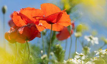Blühender Mohn, Raps und Gänseblümchen in der Sonne vor blauem Himmel von Mischa Corsius