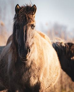 De (leidmerrie) kudde leider van een kudde wilde Konikpaarden in Oostvaardersplassen