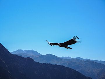 Wilder Kondor von Sanne van der Stoel