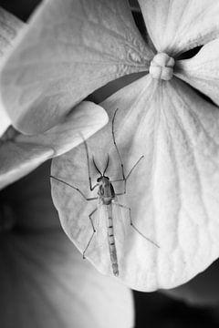 Male mosquito on flower van Luis Fernando Valdés Villarreal Boullosa