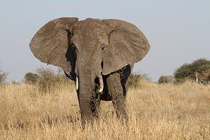 Olifant Zuid Afrika