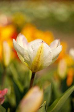 Tulpe von Sigrid Olschinski