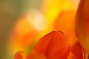 Rood geel oranje tulpen van