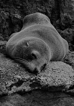Rustende zeehond in Akaroa te Nieuw-Zeeland von J V