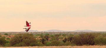Two flying rose cockatoos in Australian Outback sur Henk van den Brink