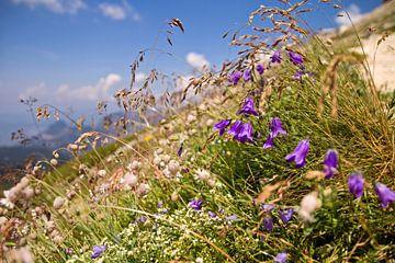 Sommerblüte in den Dolomiten von